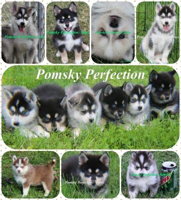 Pomsky Perfection